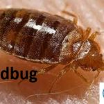 Top Best Things you need to know about bedbugs in 2021
